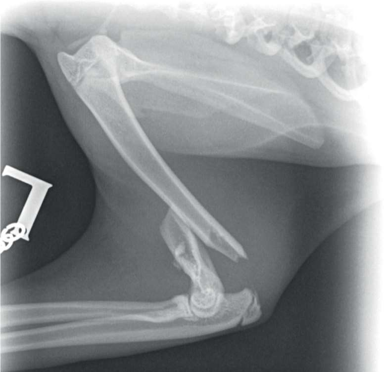 Figure 1. A craniocaudal radiograph of the feline patient, which revealed a fracture of the left humerus.