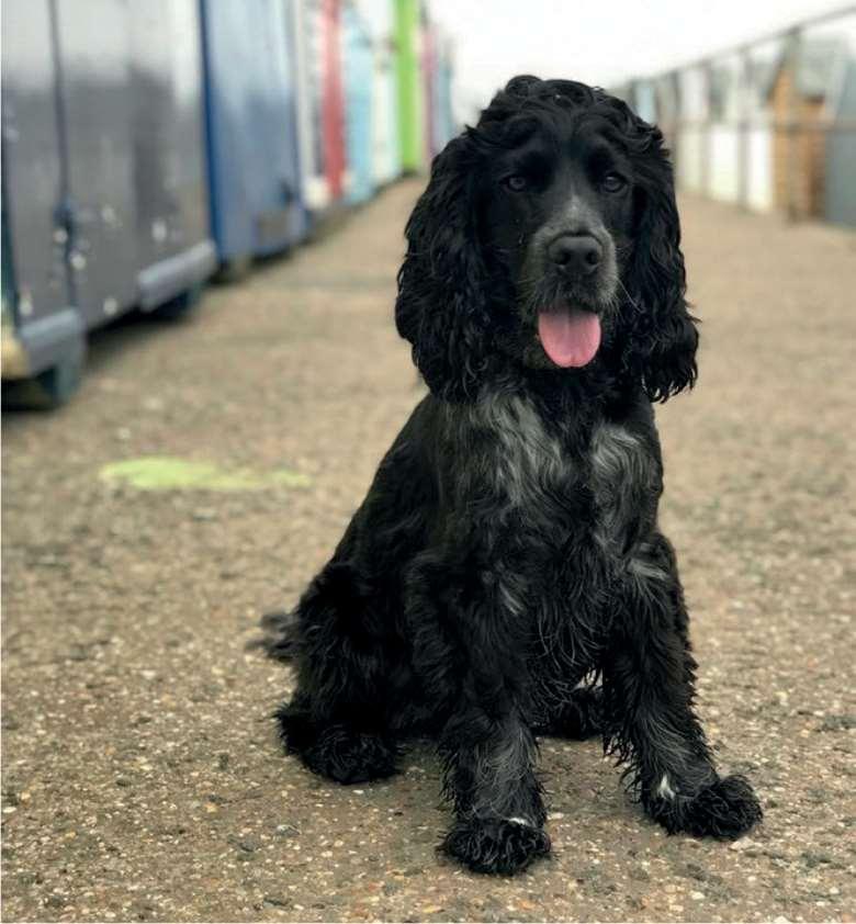 Canine Immune Mediated Thrombocytopenia The Veterinary Nurse