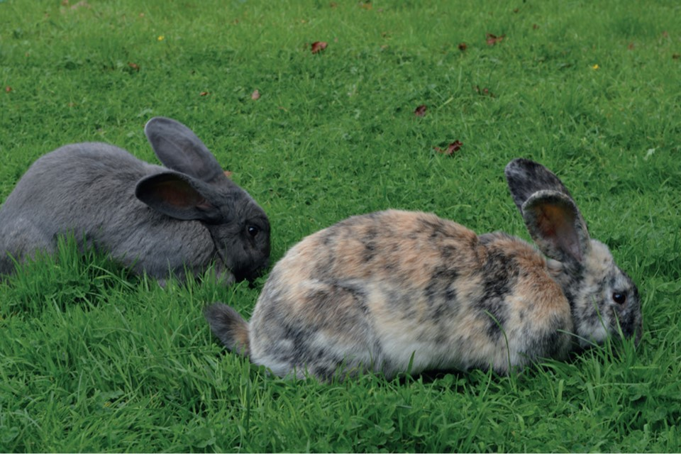 Practical Behavioural First Aid For Rabbits The Veterinary Nurse